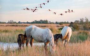 Picture field, autumn, the sky, grass, flight, landscape, birds, nature, river, shore, horses, horse, pasture, meadow, …
