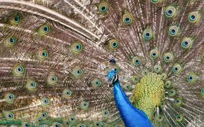 Wallpaper bird, peacock, tail