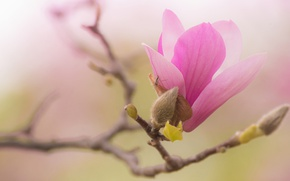 Picture flowers, branches, green, background, beauty, spring, petals, insect, pink, buds, flowering, gently, flowers, gracefully, Magnolia