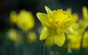 Picture macro, yellow, bokeh, Narcissus