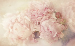 Picture flowers, background, light, petals, art, buds, gently, blurry, peonies, pastel colors, art processing