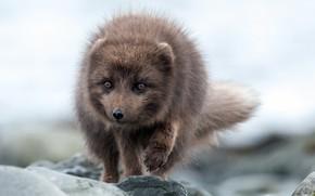 Picture nature, background, polar Fox