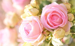 Picture blur, buds, pink roses