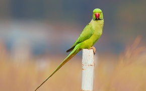 Picture bird, wildlife, parakeet, rose-ringed