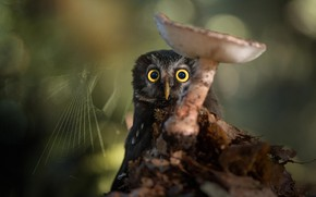 Picture nature, owl, bird, mushroom, web, bokeh