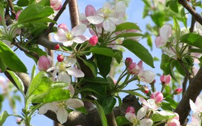 Picture flowers, Apple, spring 2018, Mamala ©