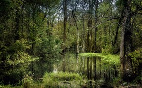 Picture forest, nature, swamp