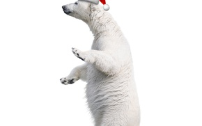 Picture white, hat, bear, Christmas, Christmas, bear
