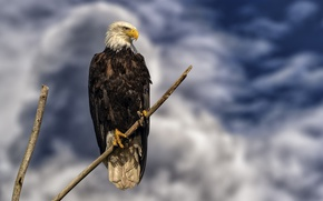 Picture the sky, sitting, on the branch, bald eagle, bird of prey