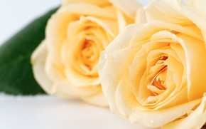 Picture flowers, buds, White roses