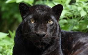 Picture face, portrait, predator, Panther, wild cat, black leopard