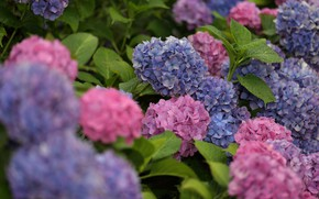 Picture flowers, pink, blue, Bush, Hydrangea