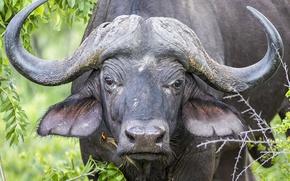 Picture look, horns, buffalo, Buffalo