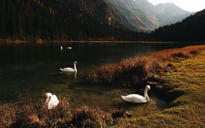 Picture mountains, lake, swans