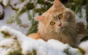 Picture cat, branches, muzzle, winter, red cat, snow, look, cat