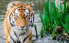 Picture tiger, water, look, big cats, feline