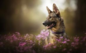 Picture face, flowers, dog, chrysanthemum, bokeh