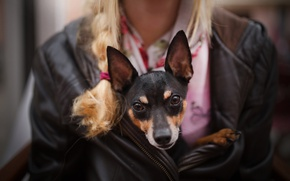 Picture girl, dog, ears, dog, Rattie ♥
