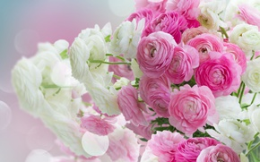 Wallpaper white, beautiful, buttercups, pink flowers, ranunculus, flowers, pink