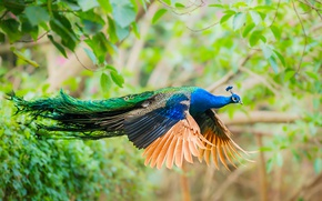 Picture bird, wings, feathers, tail, peacock, flight