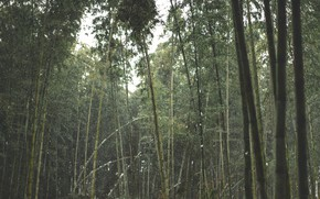 Picture forest, leaves, snow, trees, stems, trunks, foliage, bamboo, grove