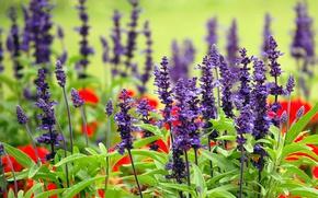 Wallpaper flowers, meadow, Australia, Sydney, lavender, Royal Botanic gardens
