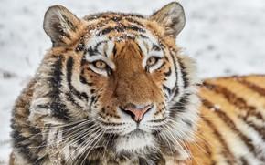 Wallpaper wild cat, face, tigress, look