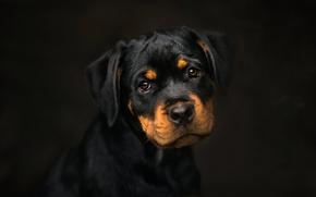 Picture background, dog, puppy, Rottweiler, watchdog, Frelka