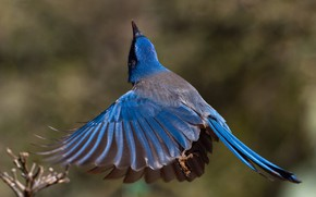 Picture bird, wings, tail, California shrub Jay
