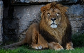 Picture grass, look, face, cats, nature, background, stone, portrait, Leo, paws, mane, lies, wild cats, zoo