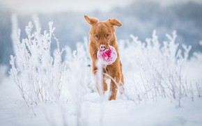 Picture winter, frost, field, snow, nature, stems, toy, the game, the ball, dog, red, running, puppy, …