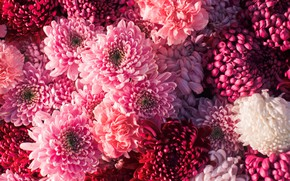 Picture flowers, red, chrysanthemum, pink, flowers