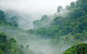 Picture greens, forest, trees, fog, jungle, Jungle