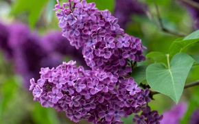 Picture macro, branch, lilac, inflorescence