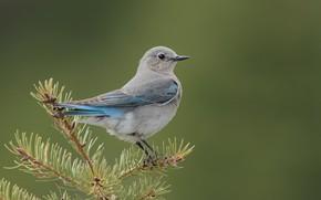 Wallpaper bird, spruce, Tree, twigs