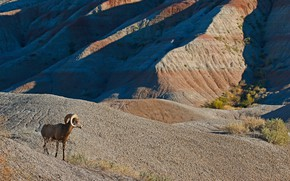 Picture mountains, nature, horns, desert bighorn sheep