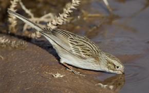 Picture water, bird, tail, passerine Bunting