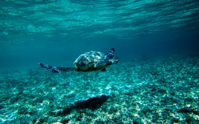 Wallpaper the bottom, blue, under water, turtle, underwater world, floats, sea