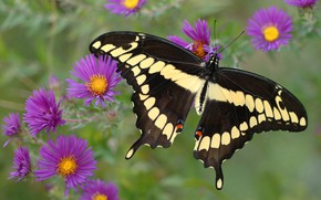 Picture macro, butterfly, flowers, insects, nature, green, background, pattern, butterfly, black, insect, lilac, yellow, dark, spotted