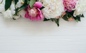 Picture flowers, peonies, pink-white