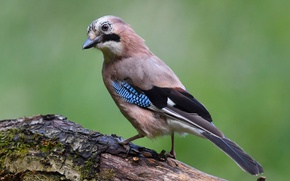 Picture birds, Jay, jay