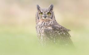 Wallpaper look, fog, grey, background, owl, bird, portrait, owl, tail, blurred