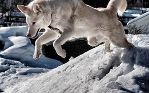 Picture winter, the sun, snow, jump, dog, white