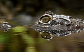Picture water, eyes, Caiman