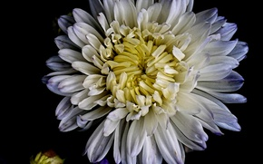 Picture flower, nature, chrysanthemum