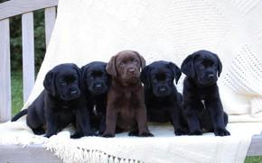 Picture puppies, Labrador, black, chocolate
