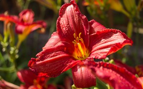 Picture Macro, Red Lily, Red lily