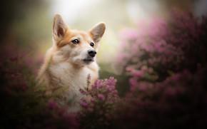 Picture look, face, portrait, dog, bokeh, Heather, Welsh Corgi
