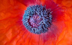 Picture flower, macro, flowers, red, Mac, petals, stamens, al, pistil, flora, inside the flower