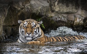 Picture face, tiger, predator, bathing, wild cat, zoo, pond